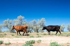 Steppe landscape with trees and cows Stock Photo