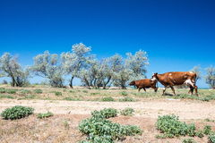 Steppe landscape with trees and cows Stock Photos