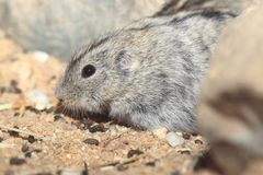 Steppe lemming. In the soil royalty free stock photo