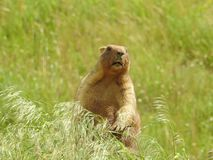 A steppe marmot bobak sits in the grass royalty free stock photography