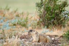 Steppe Marmot Marmota Bobak. Stock Photography