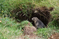 Steppe marmot on Monte Baldo Stock Photography