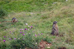 Steppe marmot on Monte Baldo Stock Photo