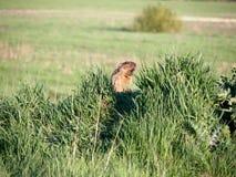 Steppe marmot screaming. Steppe marmot & x28;marmota bobak& x29; screaming Royalty Free Stock Photo