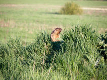 Steppe marmot screaming Royalty Free Stock Photo