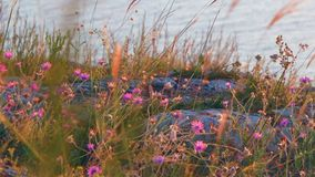 Steppe plants small violet flowers on rocky coast and sea surface with ripples on background. stock video footage