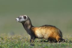 The steppe polecat or masked polecat in natural habitat Mustela. The steppe polecat or masked polecat in natural habitat in spring Mustela eversmanii royalty free stock photo