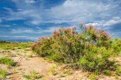 Steppe, prairie, veld, veldt. Tamariske. Stock Images