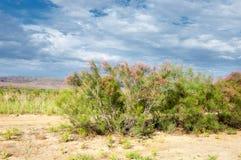 Steppe, prairie, veld, veldt. Tamariske. Royalty Free Stock Image
