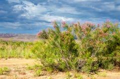 Steppe, prairie, veld, veldt. Tamariske. Royalty Free Stock Photography