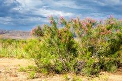 Steppe, prairie, veld, veldt. Tamariske. Royalty Free Stock Images