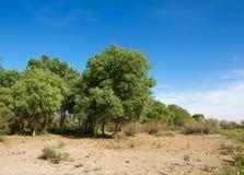 Steppe, prairie, veldt, veld,beautiful. Steppe, prairie, veldt, veld.  Spring Central Asia. Kazakhstan. turanga poplar.  Euphrates Poplar beautiful dry forests Stock Images
