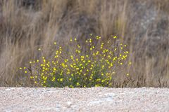 Steppe shrub with small yellow flowers on a background of rocky terrain. And dried up grass Royalty Free Stock Photo