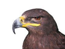 Steppe Tawny Eagle closeup Stock Image