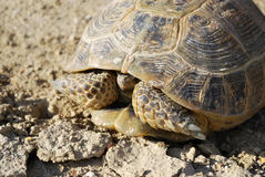 Steppe tortoise hiding in the shell. Mangistau, Kazakhstan Royalty Free Stock Photography