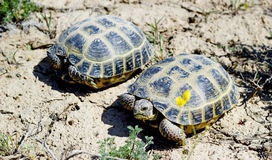 Steppe tortoise. This steppe tortoise lives in the steppes of Kazakhstan Royalty Free Stock Photography