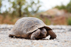 Steppe tortoise (Testudo (Agrionemys) horsfieldii) in its natura Stock Image
