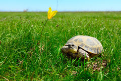 Steppe turtle Stock Photo