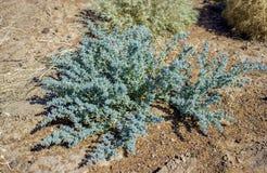 Steppe vegetation Royalty Free Stock Photo