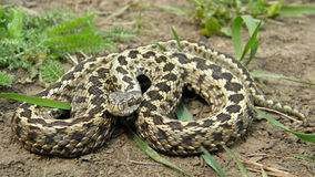 Steppe Viper Stock Images