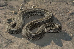 Steppe Viper Stock Image