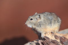 Steppe vole Stock Image