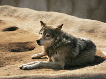 Steppe wolf Stock Images