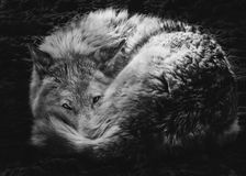 Steppe wolf curled up royalty free stock photos