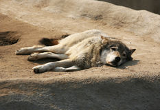 Steppe wolf Stock Photo