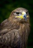 Steppeadler Aquila nipalensis Stockbild