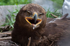 Steppeadler Aquila nipalensis Stockfotos