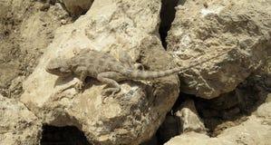 Steppeagama op stenen dichtbij Talimarjon, Oezbekistan 8 april 2014 Stock Foto's