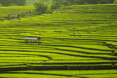 Stepped Rice Field Stock Photos
