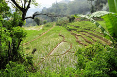 Stepped Rice terraces in South Asia Stock Image