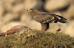 Steppenadler, Aquila-nipalensis Stockbild