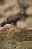Steppenadler, Aquila-nipalensis, Stockfoto