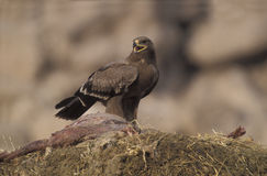 Steppenadler, Aquila-nipalensis, Stockbild