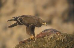 Steppenadler, Aquila-nipalensis, Stockfotos