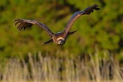 Steppenadler, Aquila-nipalensis, bewegliche Actionszene des Vogels, fliegender dunkler Schweinskopfsülzenraubvogel mit großer Spa Lizenzfreie Stockbilder