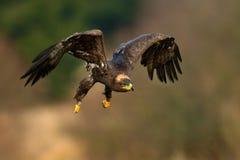 Steppenadler, Aquila-nipalensis, bewegliche Actionszene des Vogels, fliegender dunkler Schweinskopfsülzenraubvogel mit großer Spa Stockfoto