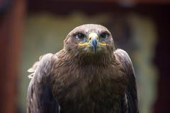 Steppenadler, Aquila-nipalensis, Detail von Adlern gehen voran Stockfoto