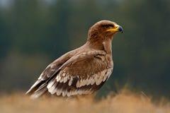 Steppenadler, Aquila-nipalensis, Raubvogel sitzend im Gras auf Wiese, Wald im Hintergrund, Tier im Naturlebensraum, Stockfoto