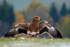 Steppenadler, Aquila-nipalensis, sitzend im Gras auf Wiese, Norwegen Eagle mit offenem Flügel Szene der wild lebenden Tiere von d Lizenzfreies Stockbild
