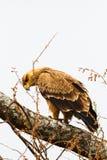 Steppenadler auf dem Baum Tarangire, Tansania Lizenzfreies Stockbild