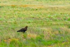 Steppenadler, der auf dem Feld im Gelbgrüngras sitzt Lizenzfreies Stockbild