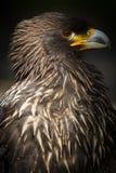 Steppenadler (lt Aquila nipalensis) Stockbild