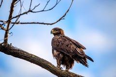 Steppenadler oder Aquila-nipalensis sitzt auf einem Baum Lizenzfreies Stockbild