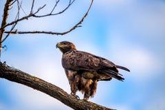 Steppenadler oder Aquila-nipalensis sitzt auf einem Baum Lizenzfreie Stockbilder