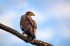 Steppenadler oder Aquila-nipalensis sitzt auf einem Baum Stockbilder