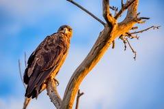 Steppenadler oder Aquila-nipalensis sitzt auf einem Baum Stockfotografie